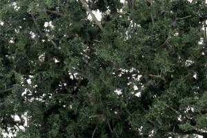 Tmavé listí (Fine-Leaf Foliage™  Dark Green) - F1130